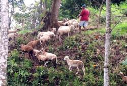 Jesus-leading-sheep