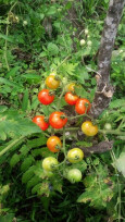 tomatoes on the farm